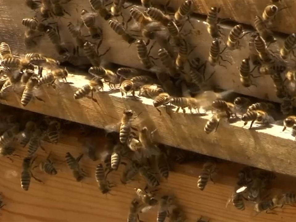 Pro Biene: EU verbietet drei bienenschädliche Insektizide im Freien
