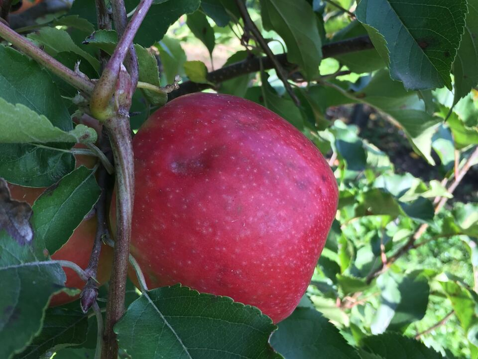Apfel Wanze