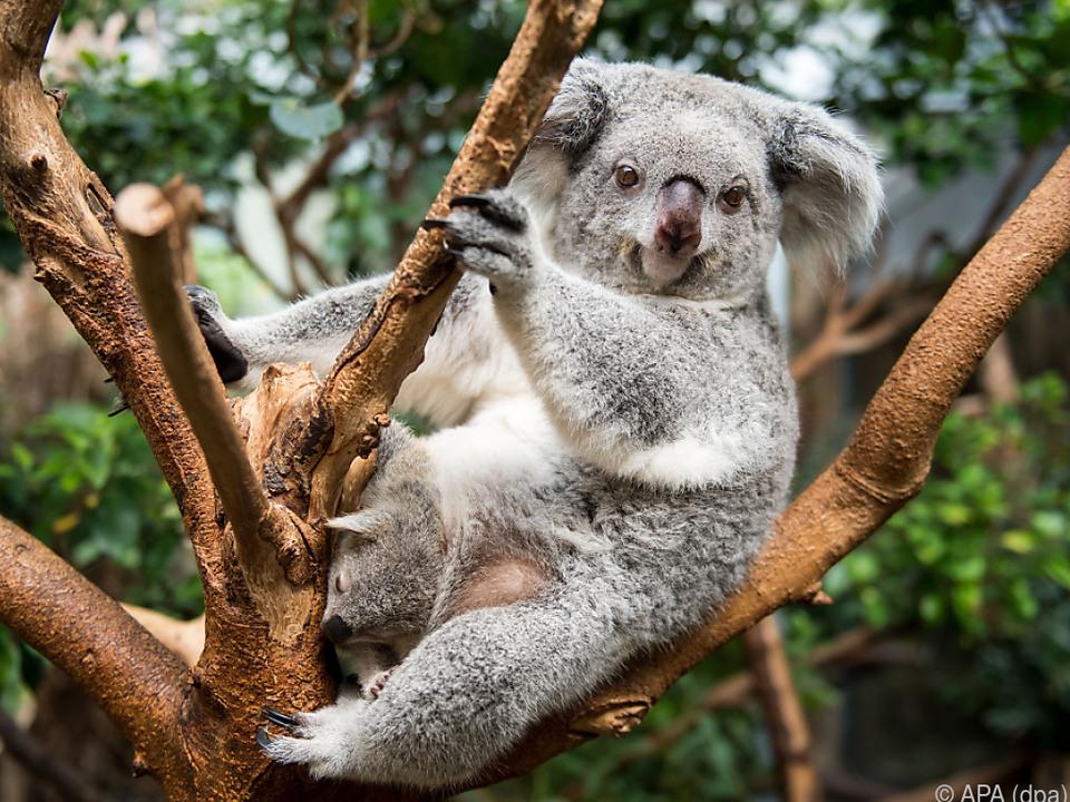Auch ein neues Koala-Hospital soll entstehen