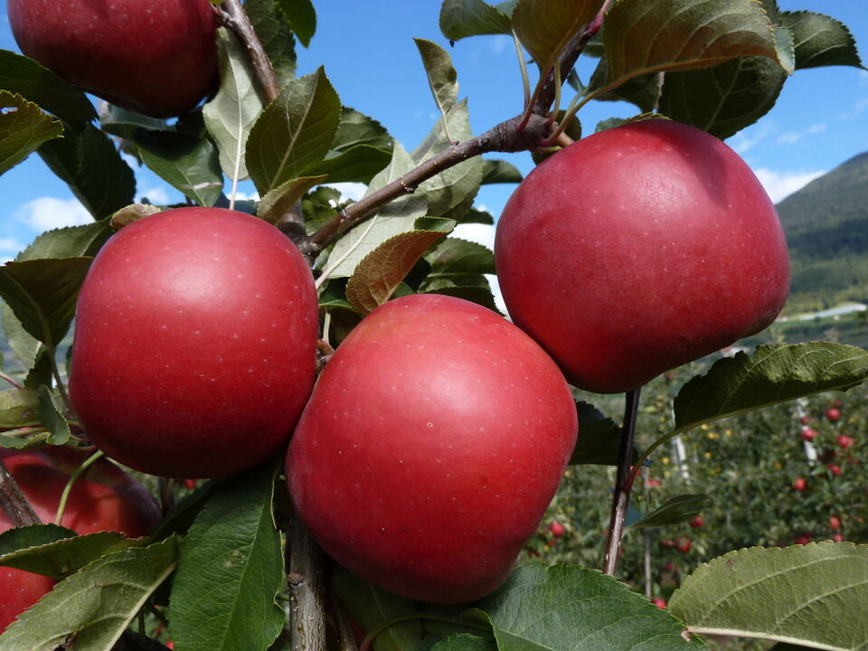 bonita Apfel