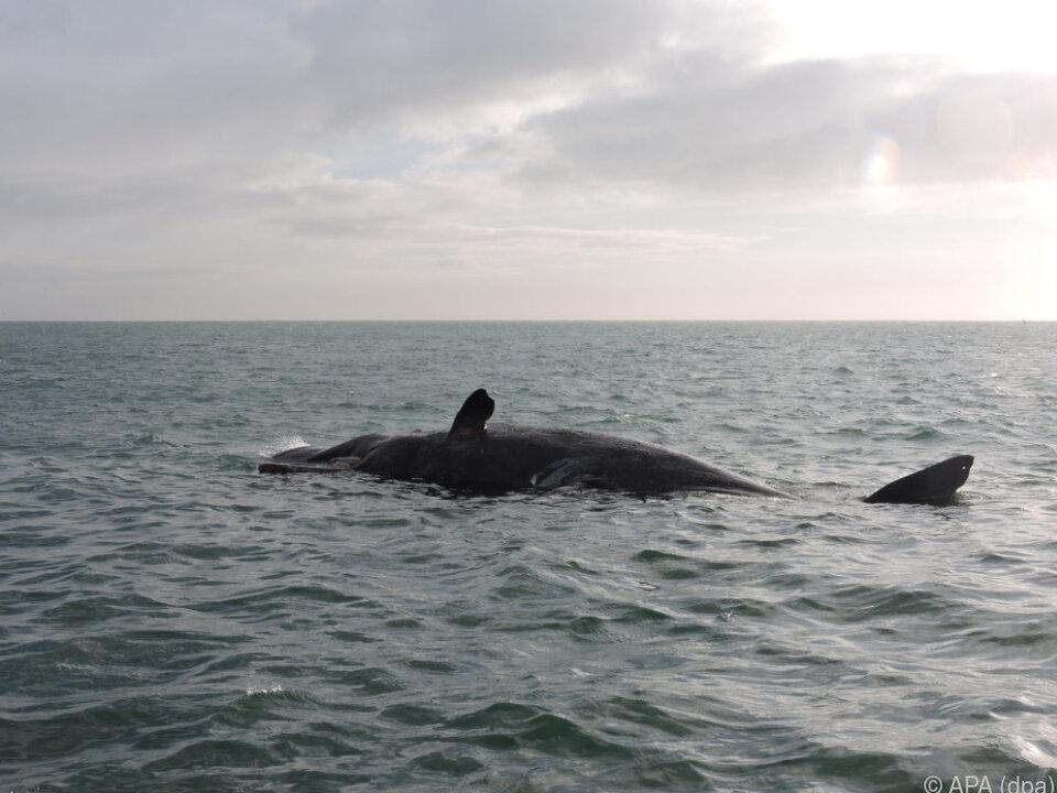 Hohe Zahl der gestrandeten Wale in Neuseeland gibt Rätsel auf