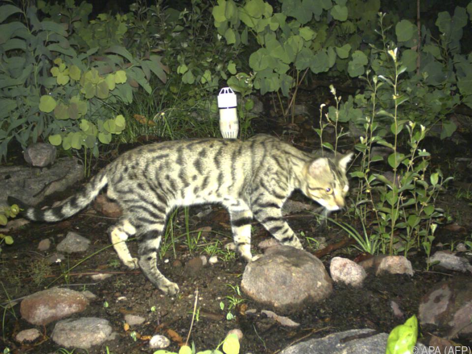 250 Reptilienarten stehen auf dem Speiseplan der Katzen