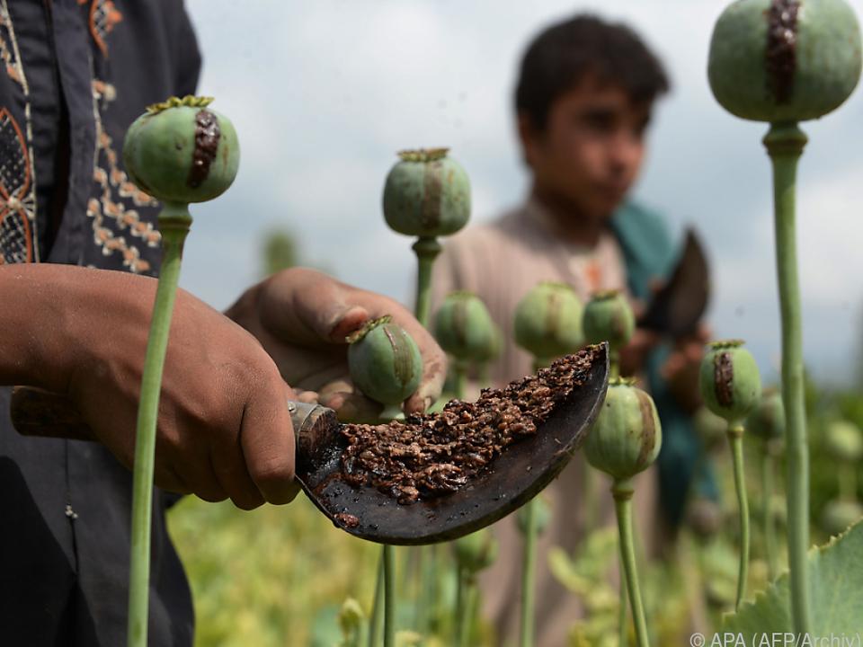 Die Opiumproduktion in Afghanistan stieg erneut an