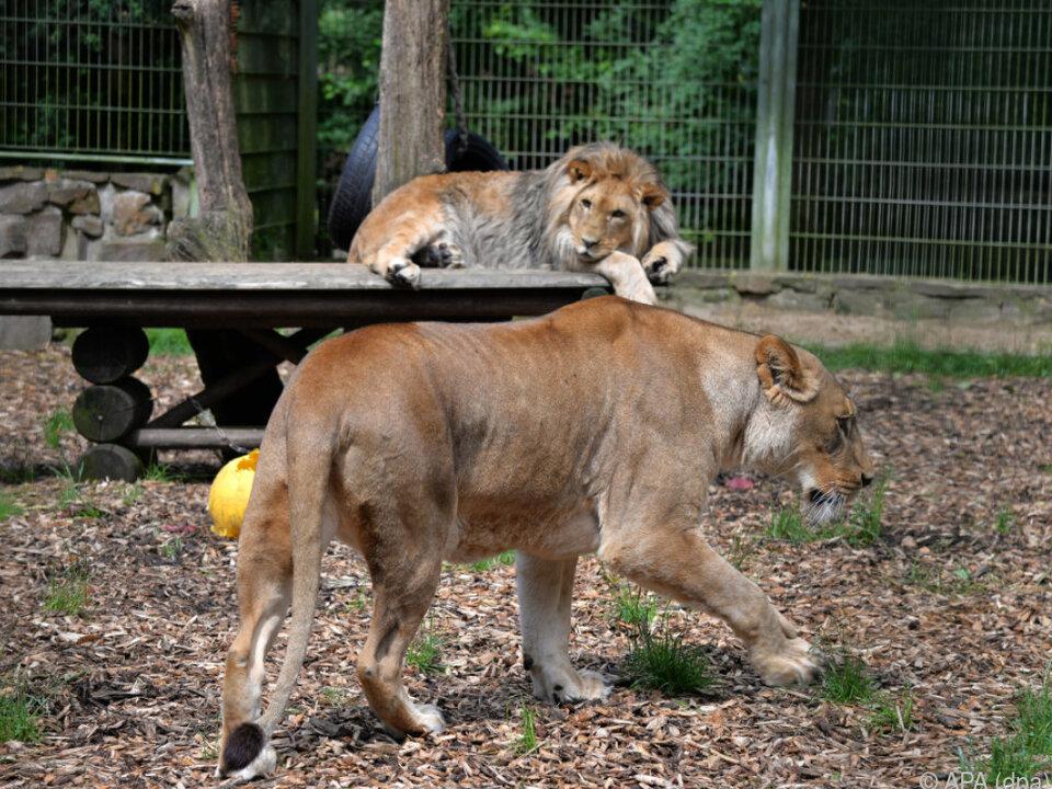 Löwenpaar Malor und Lira im Eifel-Zoo