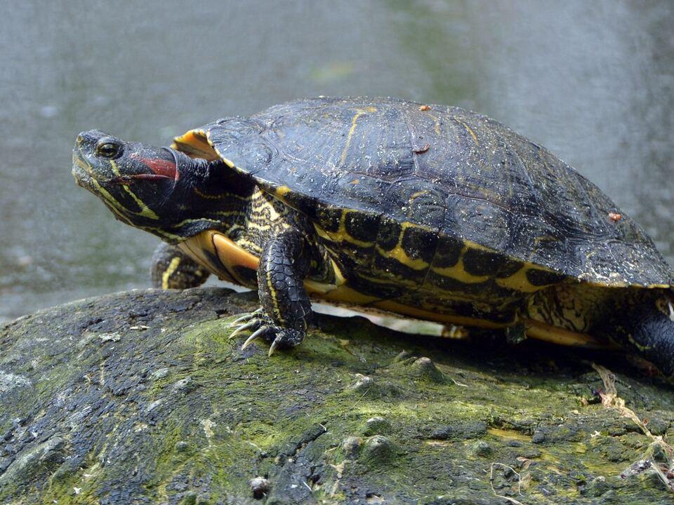 Rotwangen-Schmuckschildkröte Schildkröte
