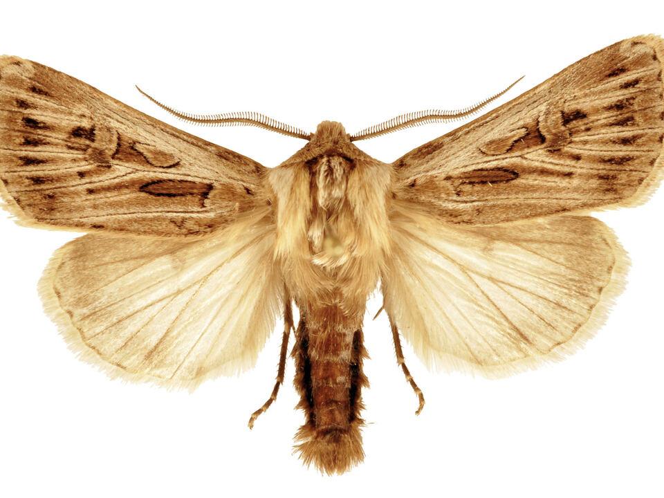 2_Agrotis_mayrorum_male_Holotype_TLMF_c_Ronkay (1)