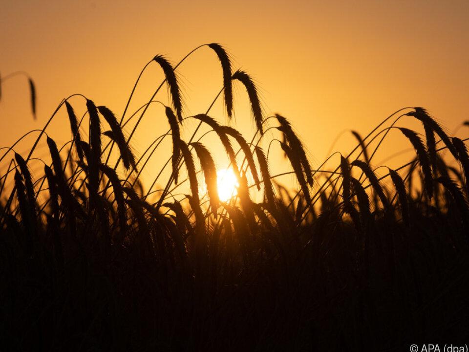 EU-Staaten steht es frei, Organismen der GVO-Richtlinie zu unterwerfen