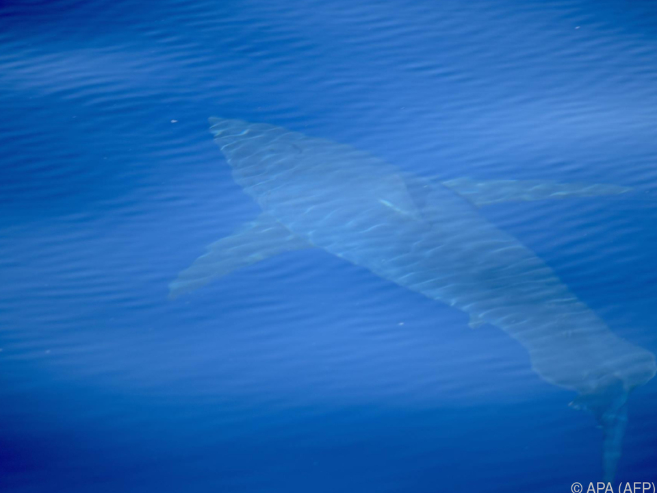 Experten uneinig, ob es sich wirklich um einen Weißen Hai handelt