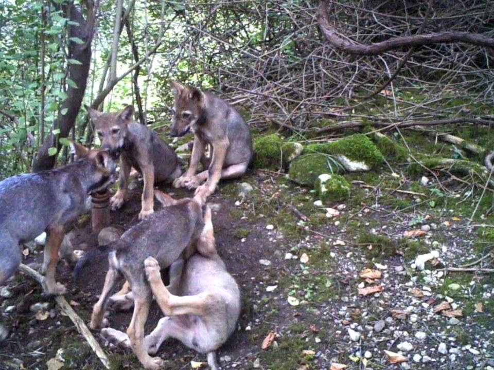 Wolfswelpen-Wolf Friaul-Julisch Venetien