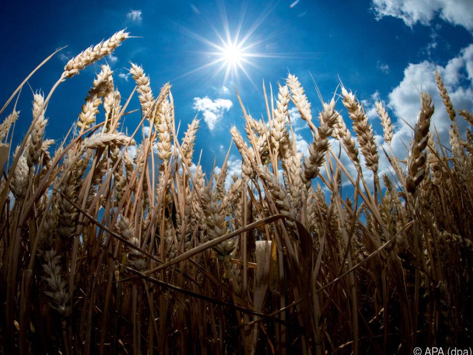 Hitze und Trockenheit prägten vor allem das Monatsende getreide landwirtschaft sym