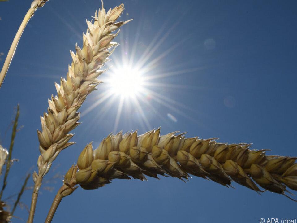 Rund sechs Prozent weniger Getreide als im Schnitt wird heuer geerntet