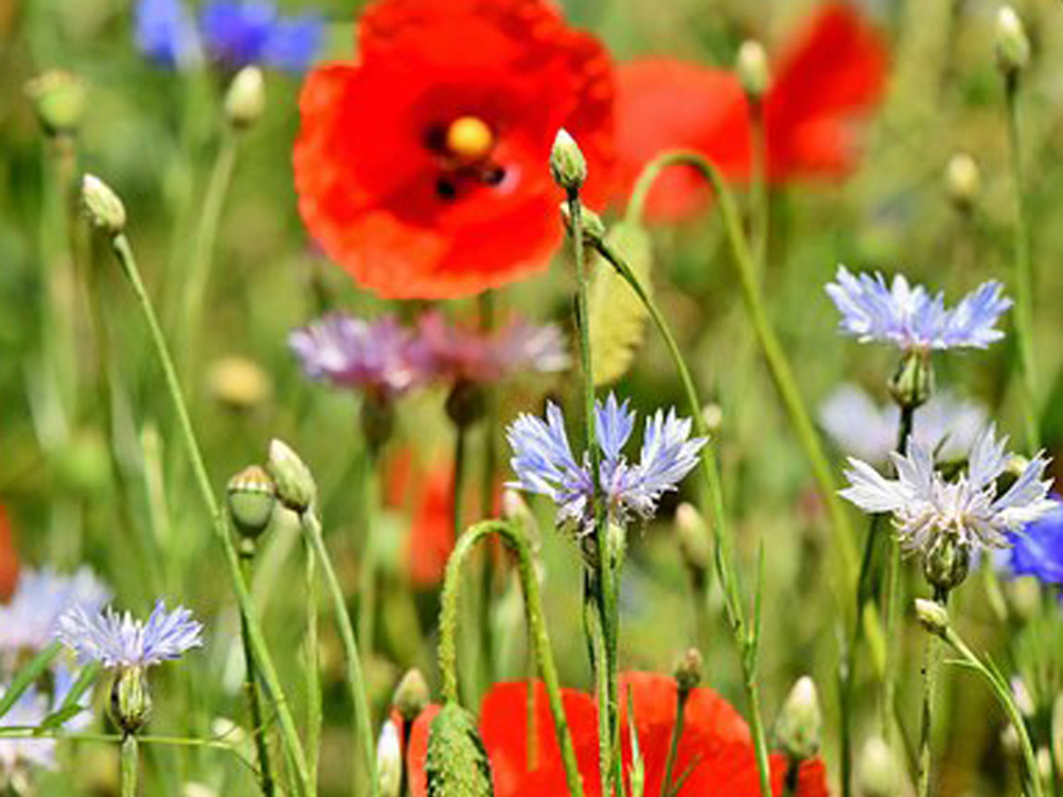 Wiese Mohnblume Blume