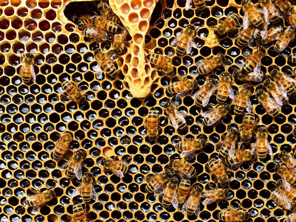 biene honig imker 1008457_apis-mellifera-biene-bienen-56876