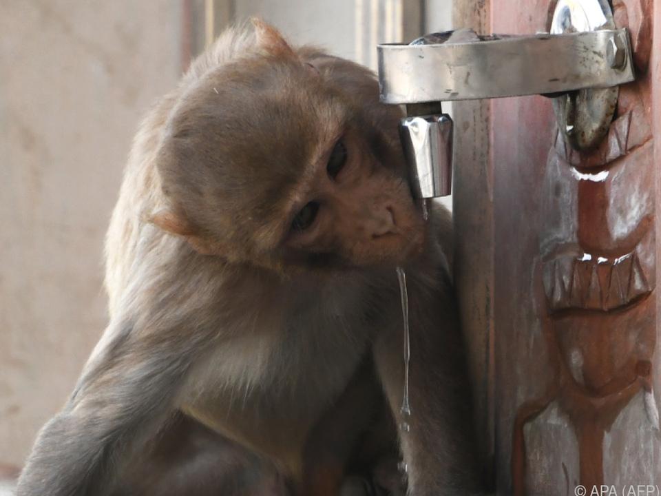 Affen dringen immer weiter in menschliche Lebensbereiche vor