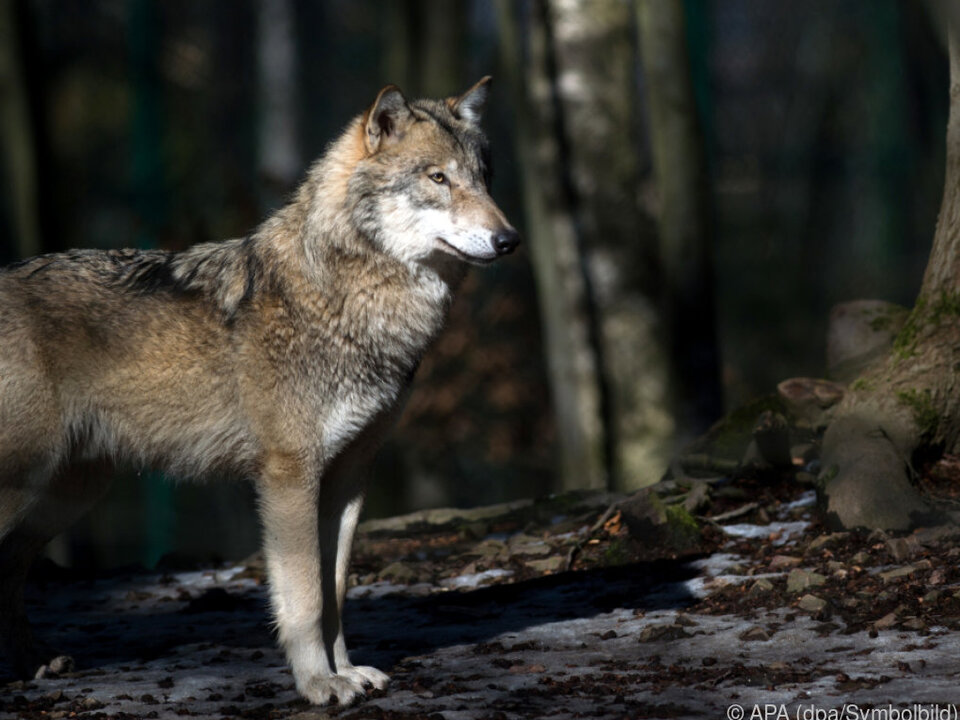 Der Wolf wird wieder heimisch in Österreich