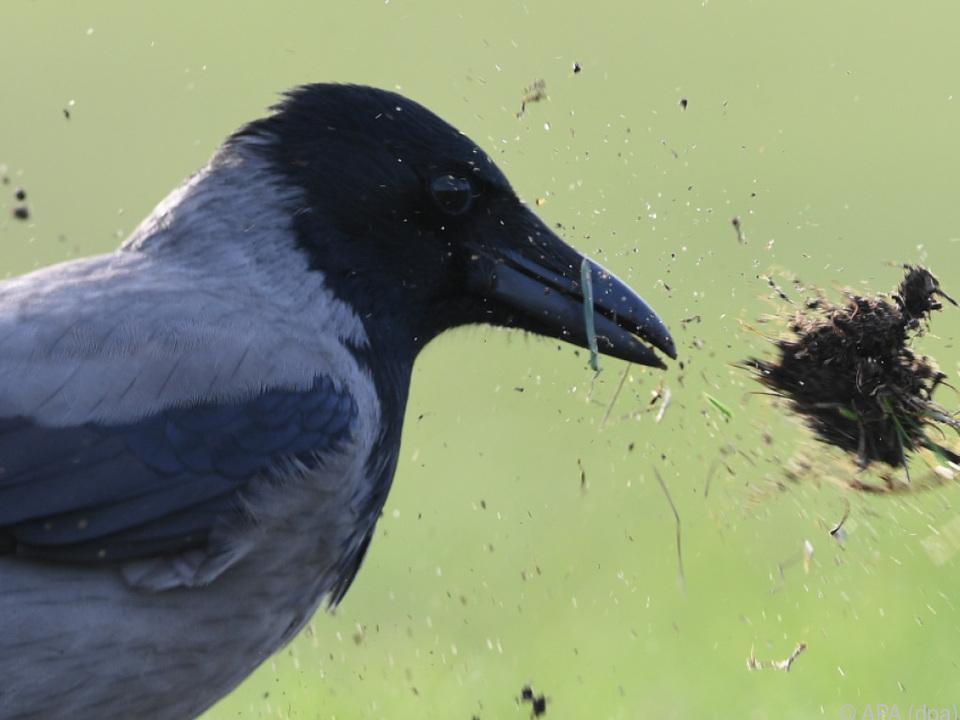 Die Krähen helfen bei der Sauberkeit rabe