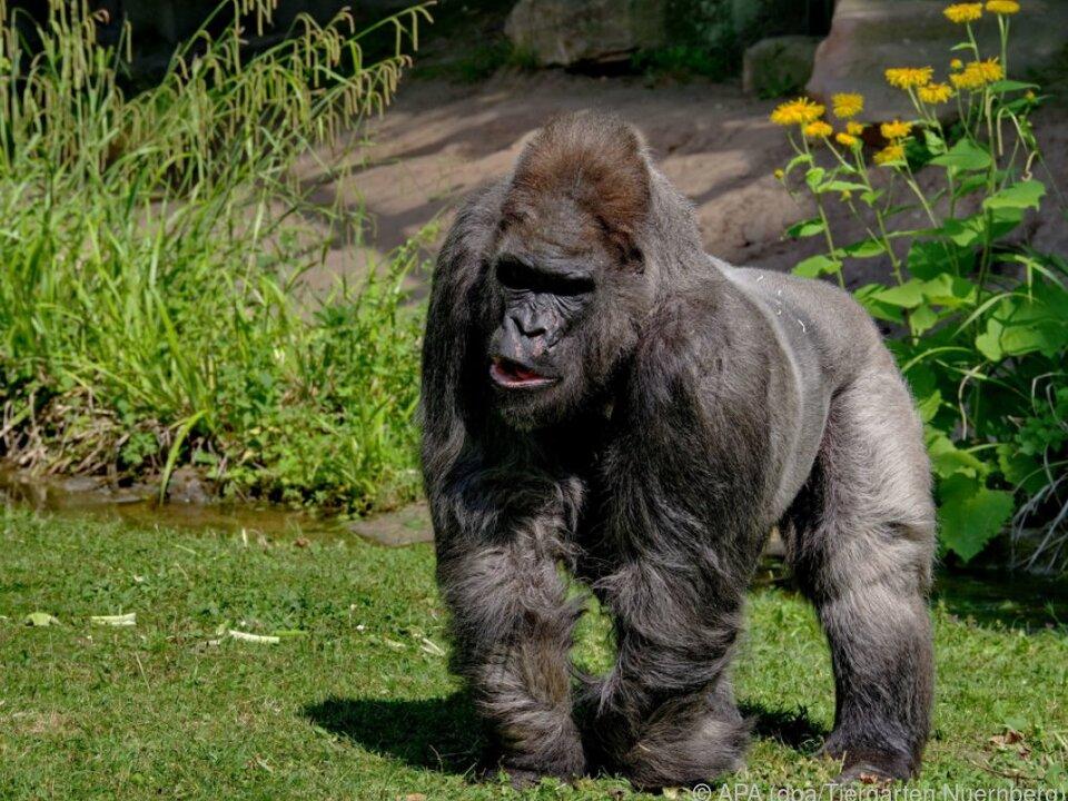 Gorilla Fritz gestorben