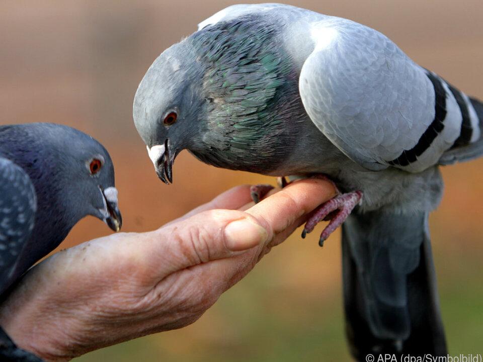 Lieber die Taube auf der Hand als im Schnellzug taube vogel tier