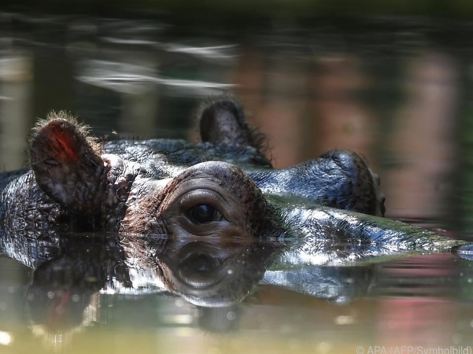 Nilpferde zählen zu den gefährlichsten Tieren Afrikas