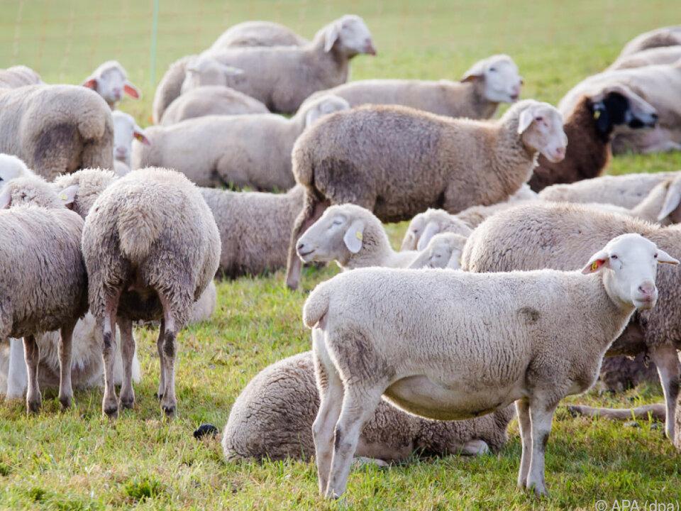 Tierquälerische Tötung von 25.000 Schafen soll so verhindert werden