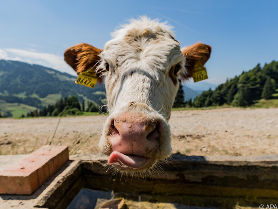 Die Kühe waren wie vom Erdboden verschluckt