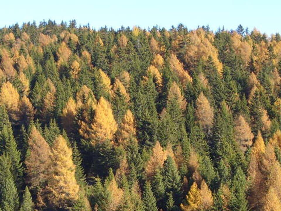 Fichten Lärchen Wald