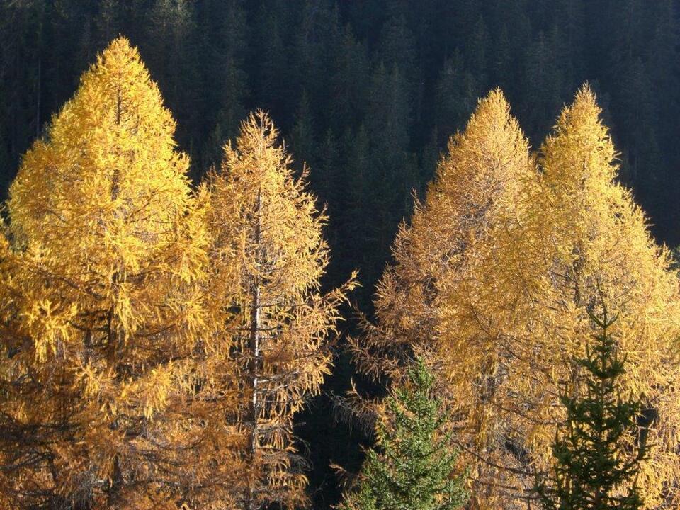 Lärchen Herbst