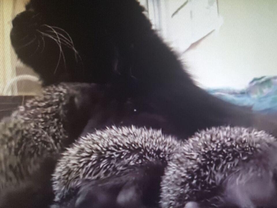 Katze säugt acht Igel-Babys