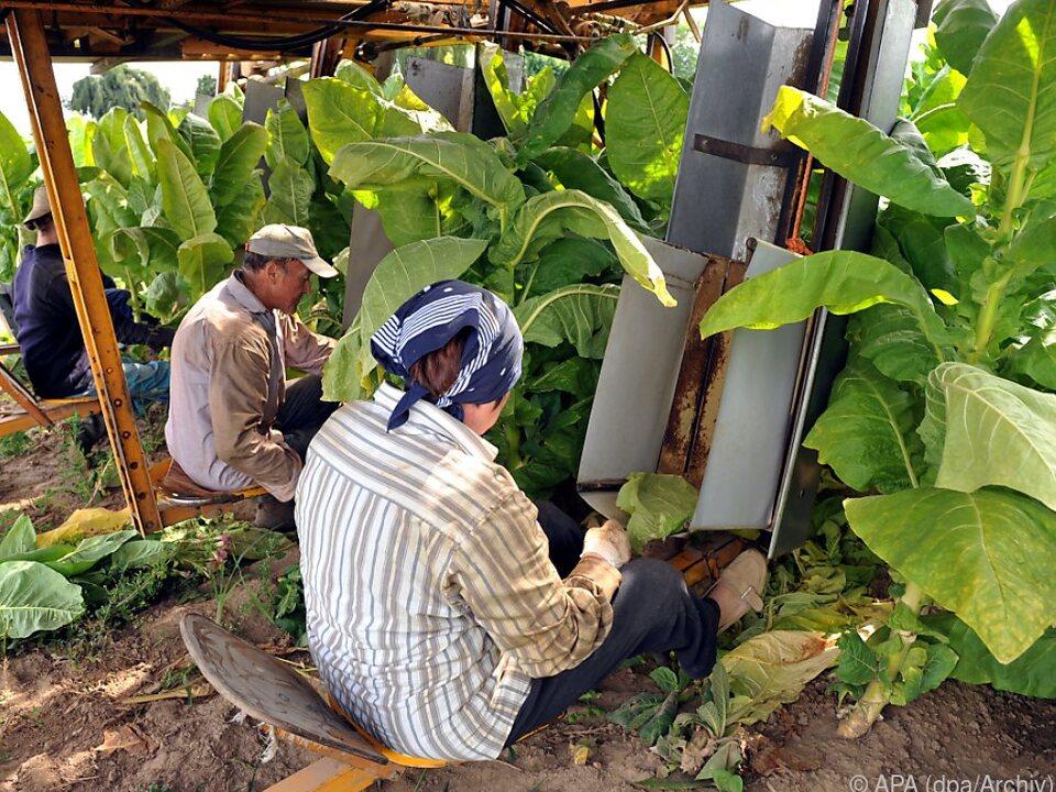 Der Tabakanbau frisst laut WHO immense Ressourcen