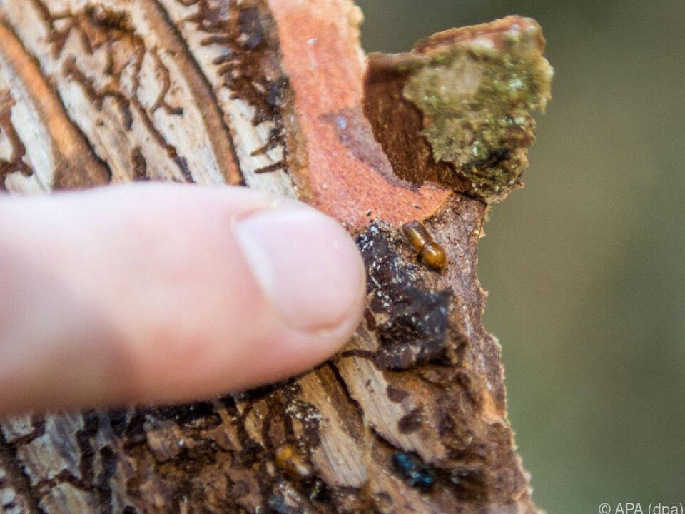 Die Borkenkäfer-Larven fressen sich unter der Rinde in den Baum