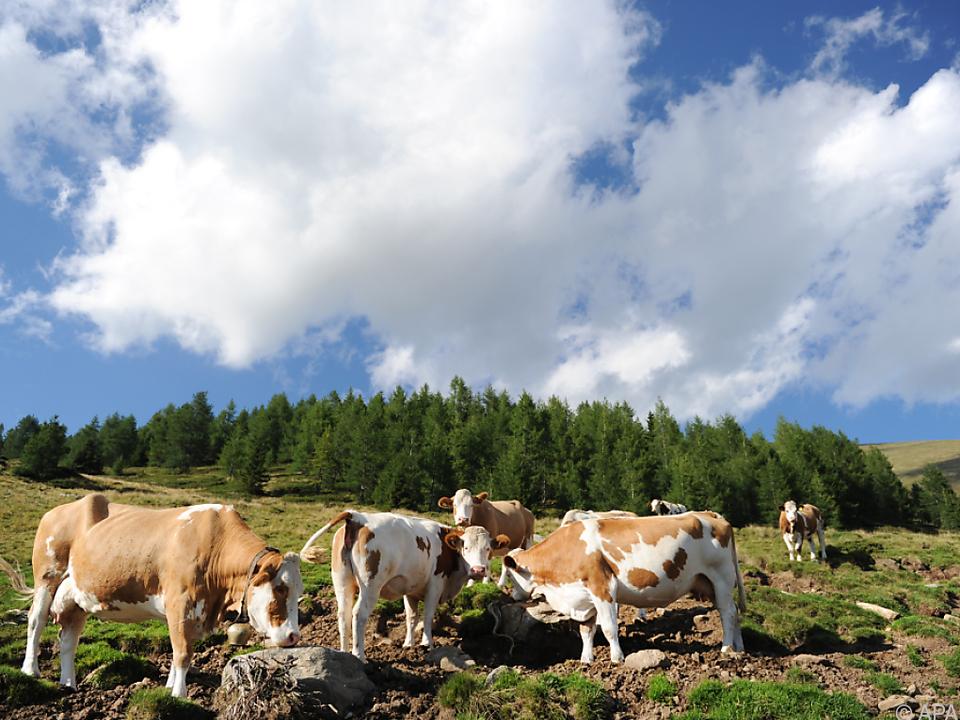 Es geht um die Berechnung geförderter Almflächen alm kuh kühe landwirt bauer