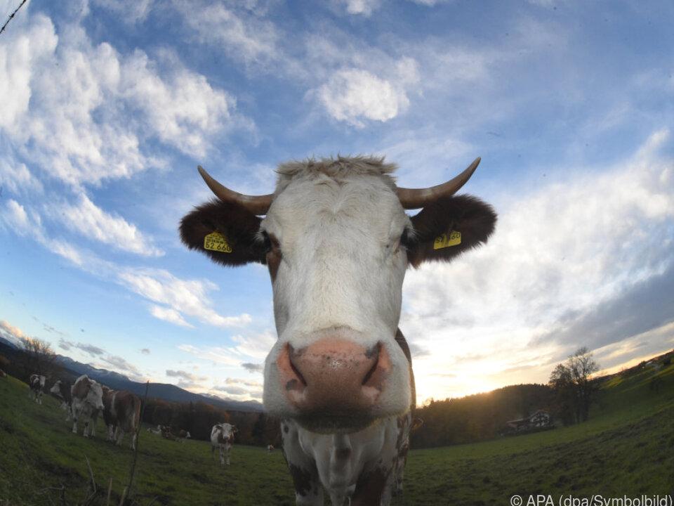 Kühe von Frau vermutlich im Drogenrausch befreit kuh landwirtschaft