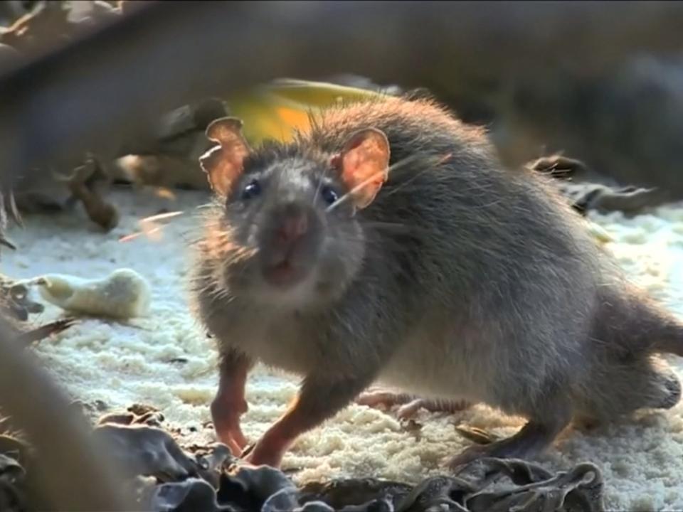 Ratten schaden Korallenwachstum