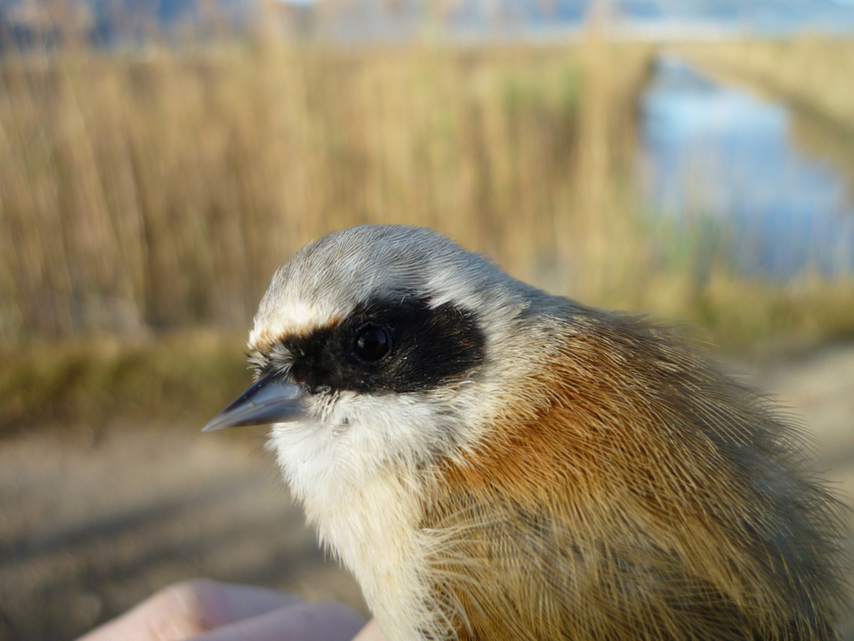 Vogel beringen Foto Francesco Ceresa
