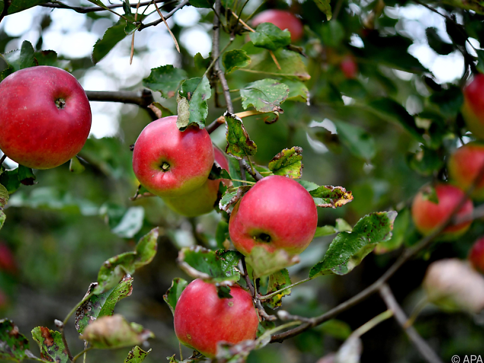 Die Apfelernte war ertragreich wie nie zuvor äpfel