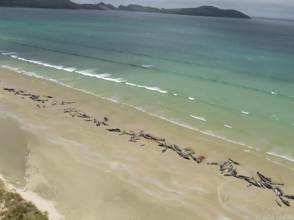 Dutzende Wale an Strand von Stewart Island an Land getrieben