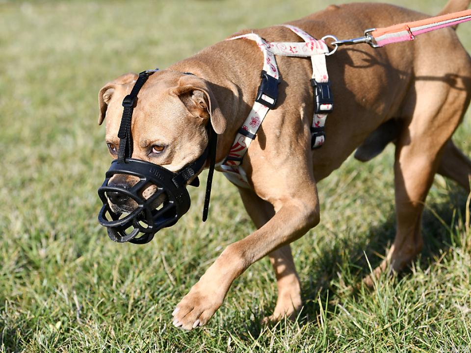 Generelle Beißkorbpflicht für Kampfhunde kommt