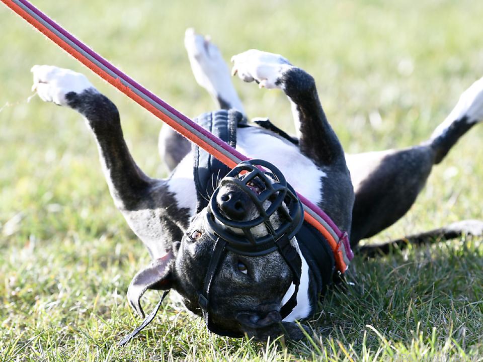 Listenhunde brauchen künftig Beißkorb und Leine