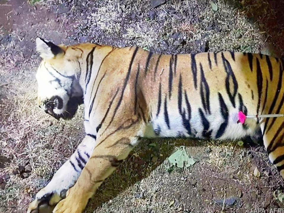 Nach dem Tod der Tigerin gab es spontane Feierlichkeiten