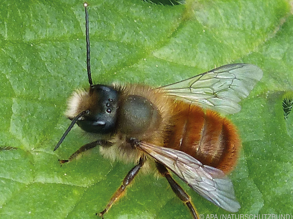 Rostrote Mauerbiene als \