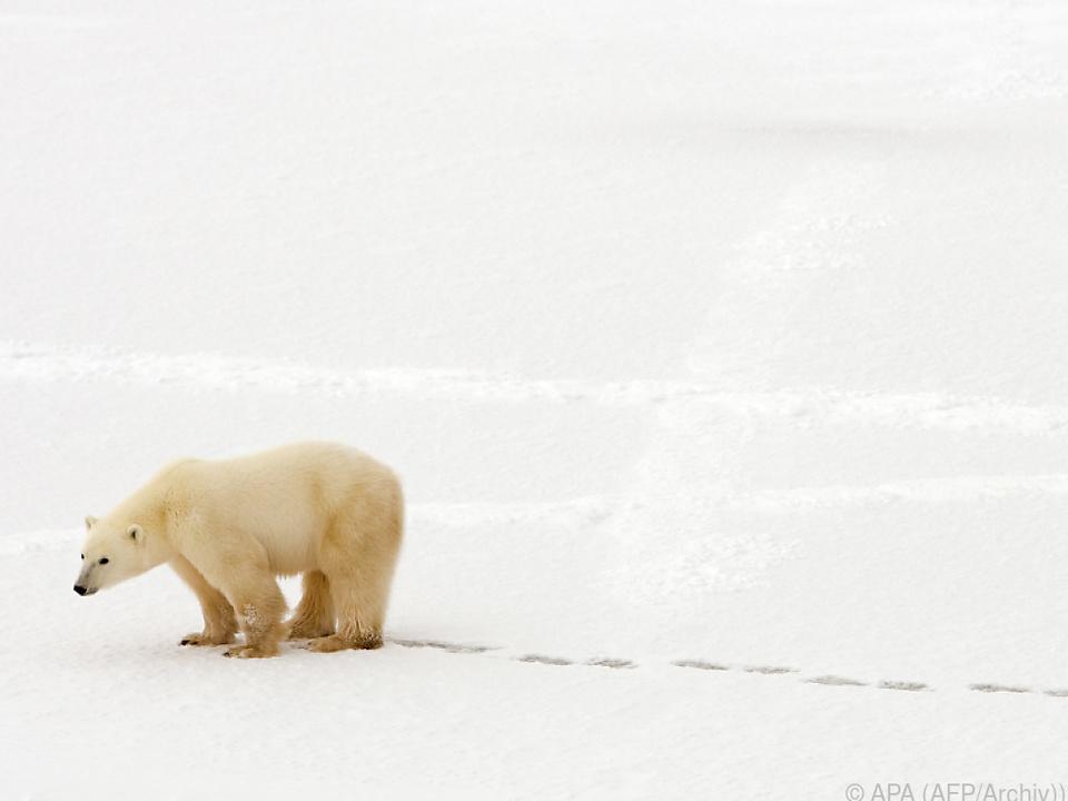 Für Eisbären wird es immer ungemütlicher