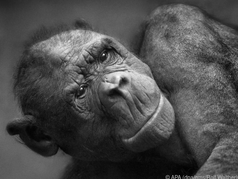 Hier bringt der Lichteinfall von rechts das Gesicht des Affen gut zur Geltung