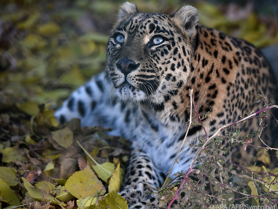 In Indien leben 12.000 bis 14.000 Leoparden