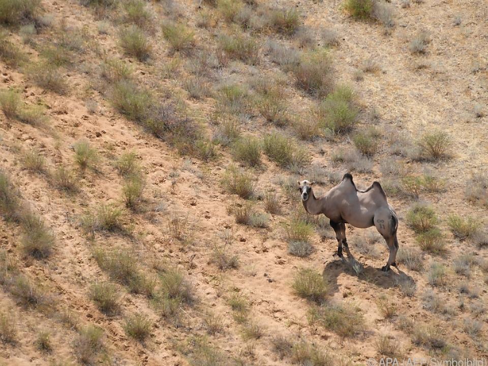 Kamele sollen Touristen anlocken