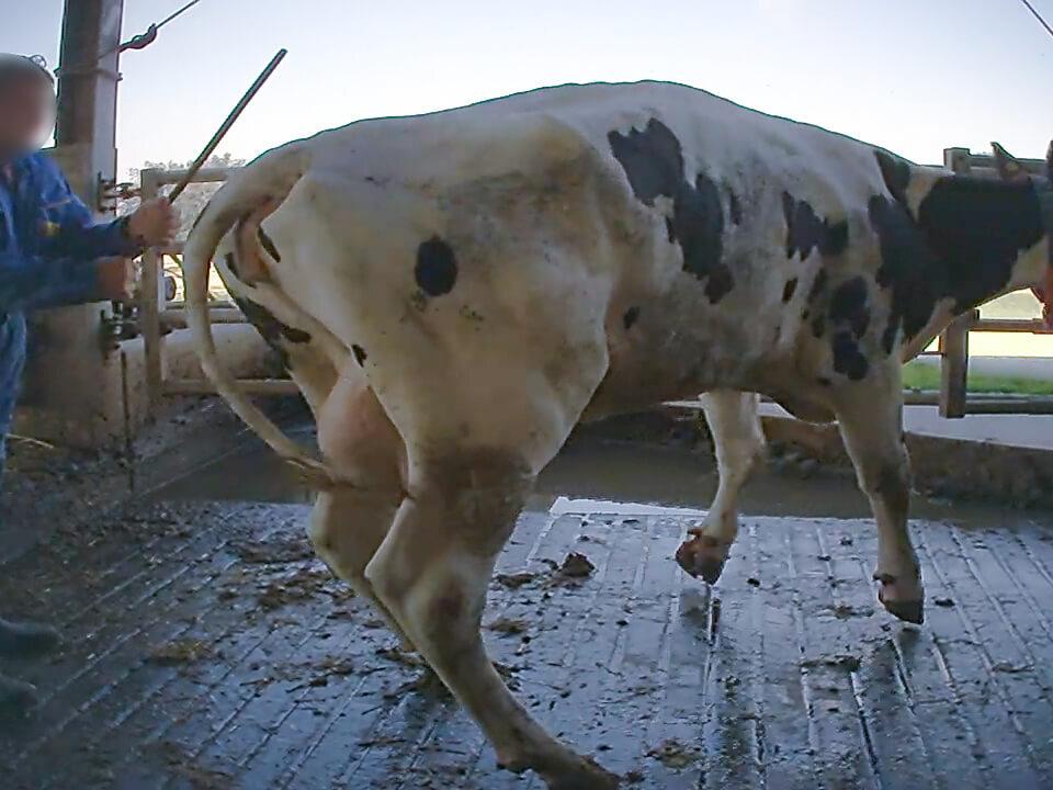 picchiate-tubo-ferro-allevamenti-mucche-latte_essereanimali