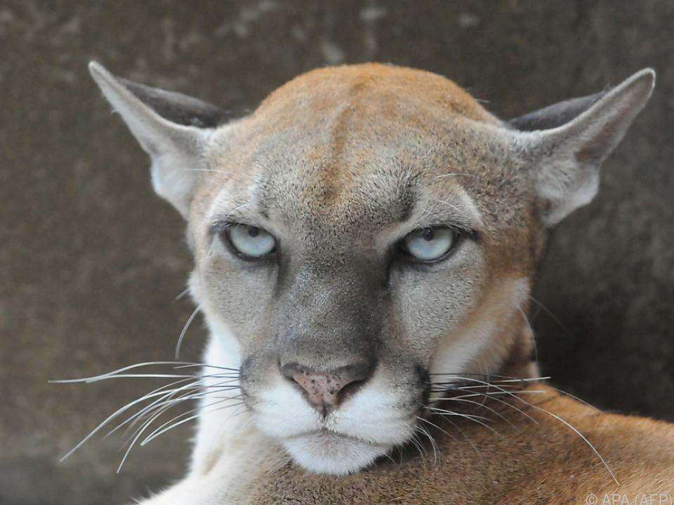 Puma wurde mit Betäubungspfeil lahmgelegt
