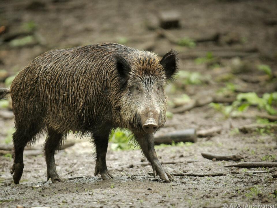Wildschweine sorgen in Italien für zahlreiche Unfälle