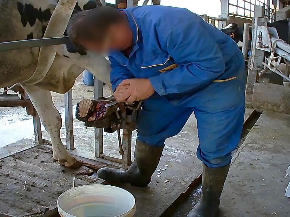 zampe-infette-allevamenti-mucche-latte_essereanimali