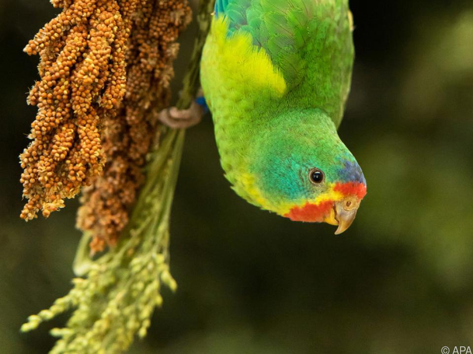 Die Pavarottis unter den Vögeln