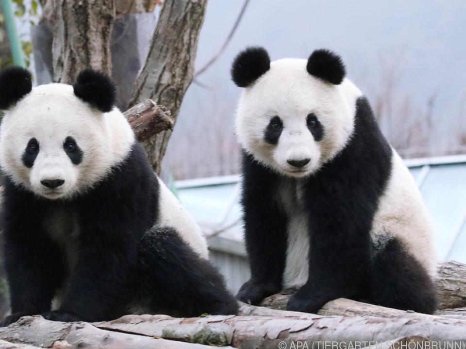 Fu Feng und Fu Ban sind \